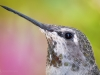 Hummingbird Closeup