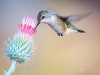 Hummingbird on Thistle