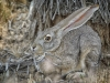 Jackrabbit Hiding