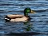 Mallard Drake Swimming