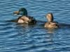 Mallard Duck Pair Quack