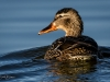 Mallard Hen Swimming Away