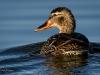 Mallard Hen Swimming Away