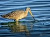 Marbled Godwit Feeding