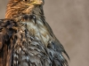 Red-tailed Hawk Drying
