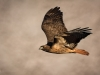 Red-tailed Hawk Hunting