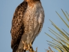 Red-tailed Hawk Posing