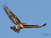 Red-tailed Hawk Wings Spread Flight