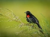Red-winged Blackbird